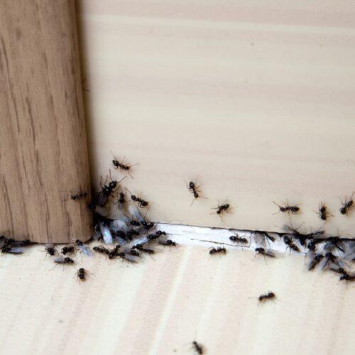 Zo bestrijd je mierennesten in de tuin én in huis!